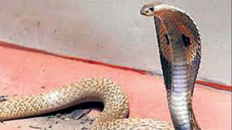 Snake sightings have also increased because empty plots across the city are being cleared for construction of buildings, destroying their habitats. (Representational image)