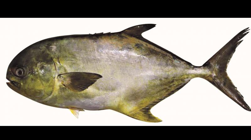 This is the fifth of its kind of an achievement made by the CMFRI after the institute developed seed production technology of cobia, silver pompano, orange spotted grouper and pink ear emperor.