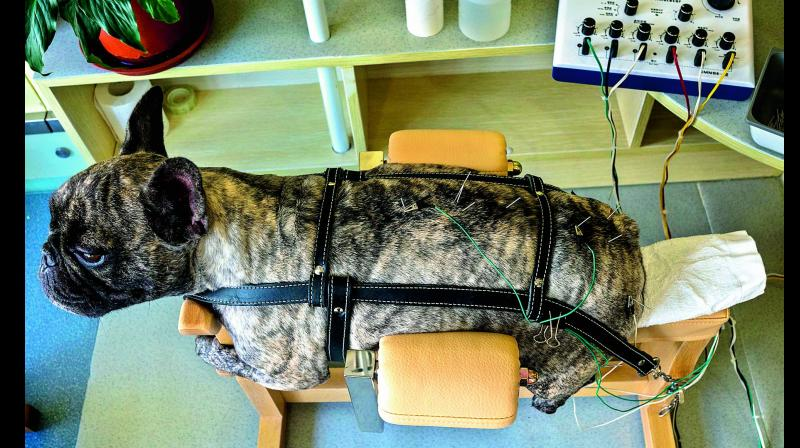 A partially paralysed dog receives treatment  (Photo: AFP)