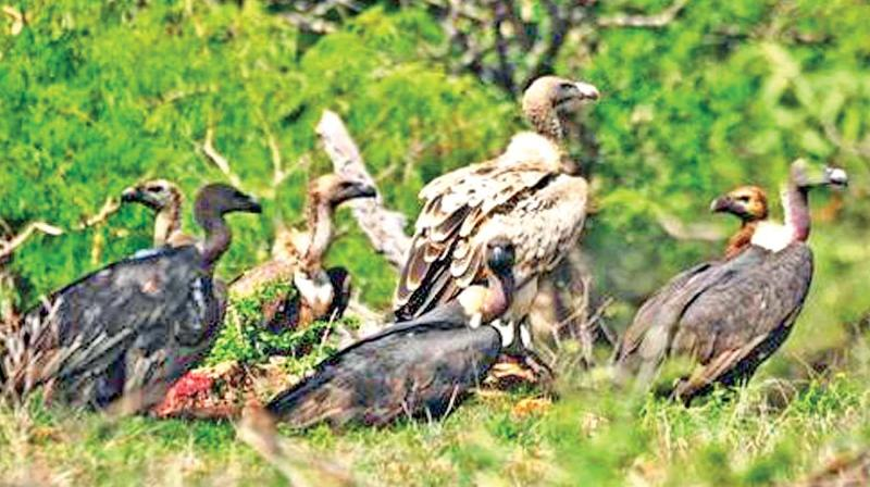 Vulture population in Moyar valley jungles near Ooty.
