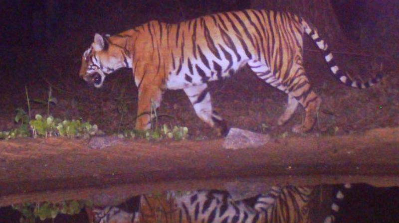 A tiger at the Seguar reserve forests adjacent to MTR. (File photo)
