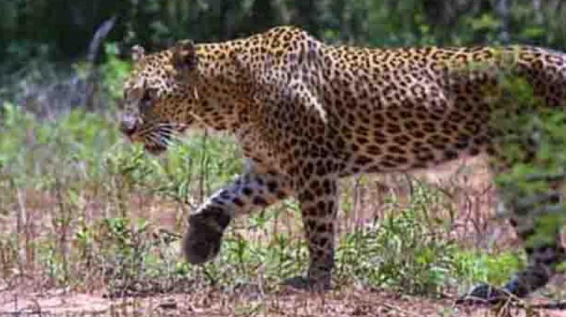 On verification they found eight sheep dead in the forest. By the injuries on the necks of the dead sheep they suspect that the cattle were killed by a leopard. (Representational Image)