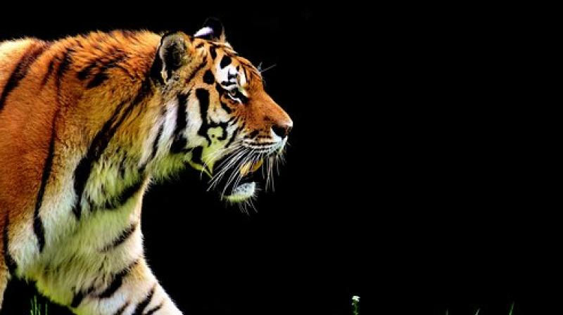 Eric Bormann killed the one-and-a-half-year-old tigress called Mevy after people spotted her wandering around in Paris. (Photo: Pixabay)