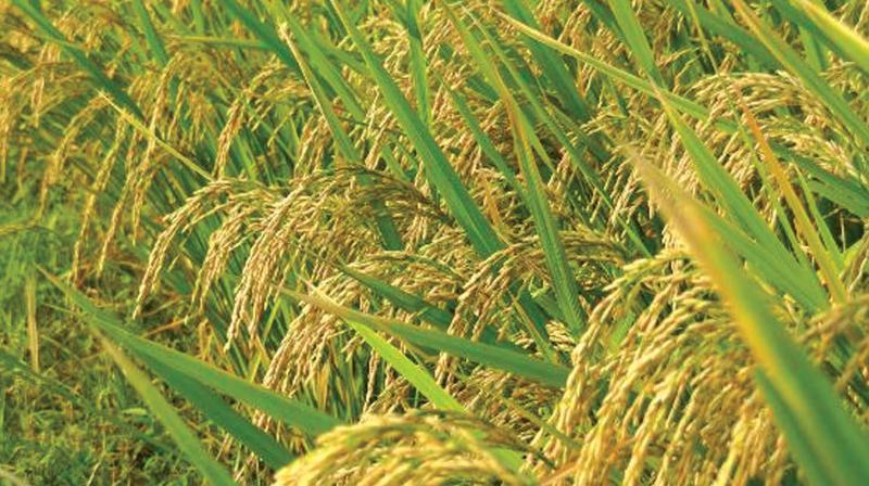 Cropped area affected by deficient rainfall increased further to 37.8 per cent from 33.5 per cent earlier.