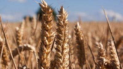 Higher coverage of wheat was reported from Madhya Pradesh, Rajasthan and Himachal Pradesh. (Photo: File | Pexels)