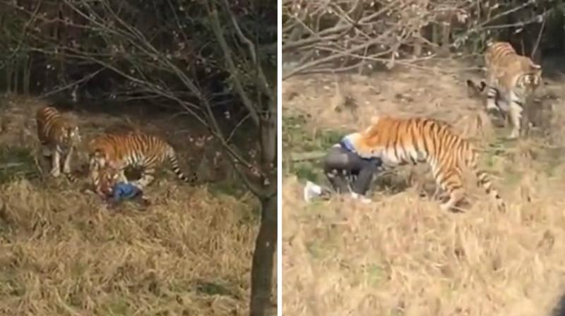 A video footage captured by a terrified onlooker shows the tiger sinking its teeth deeper into man's neck and dragging him away. (Photo: YouTube Screengrab)