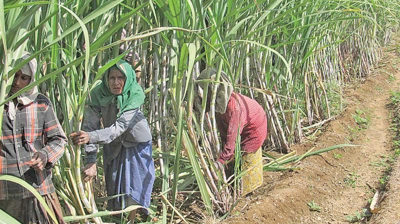 Mills say a sharp fall in sugar prices erodes their profitability, making it difficult for them to pay cane growers on time. (Photo: DC)