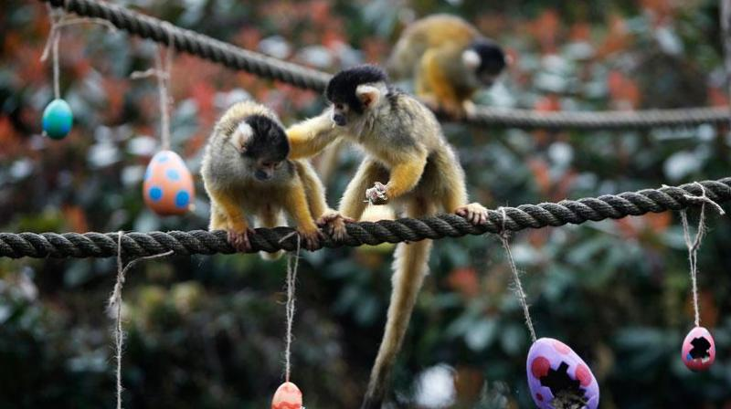 The 23-year-old was ordered to attend a Restorative Justice hearing, during which zookeepers told him that he had traumatised the simians. (Photo: AP)