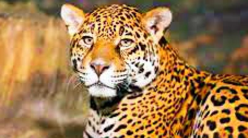 l Forest officials are yet to trap the leopard, which has attacked 14 times so far. The number of leopards on the prowl is yet to be confirmed.