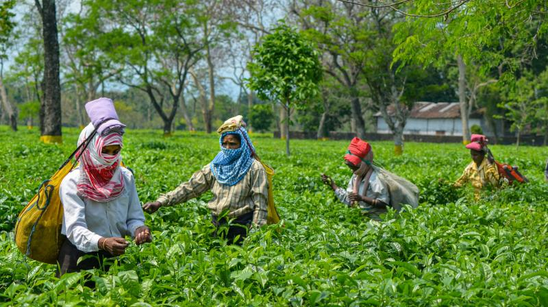Tea industry suffers loss of Rs 2100 crores in WB and Assam