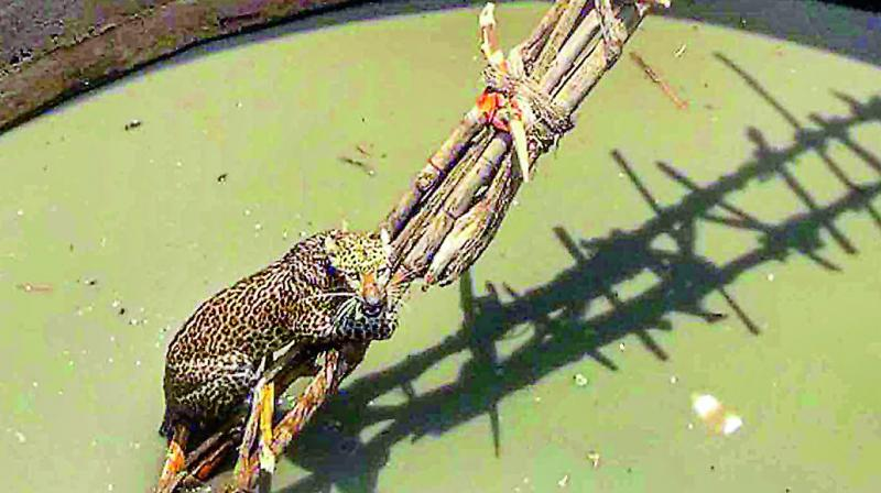 A leopard being rescued after it fell into an agricultural well at a village in Adilabad on Saturday.