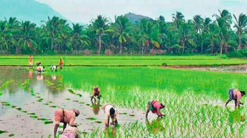 """Mr Anand said, """"We had estimated paddy procurement of about 37 lakh metric tonnes in rabi but purchased 37.14 lakh MTs from over 6.93 lakh farmers and paid Rs 5,627 crore online.  (Representational Image)"""