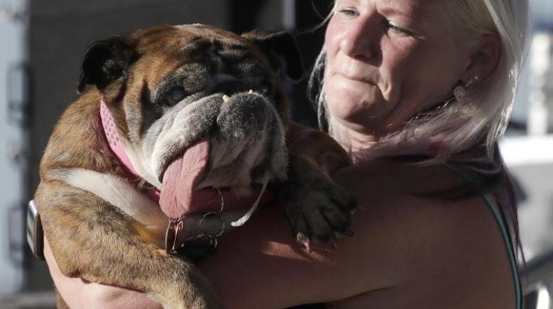 Zsa Zsa, an English Bulldog, is carried by owner Megan Brainard during the World's Ugliest Dog Contest at the Sonoma-Marin Fair in Petaluma, Calif., Saturday, June 23, 2018. Zsa Zsa won the contest. (Photo: AP)