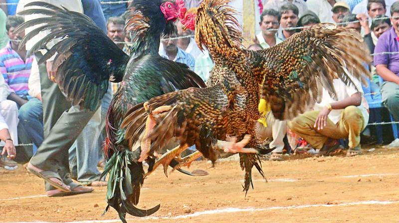 Male Cock Fight