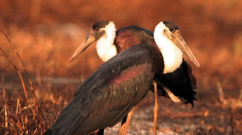 Woolly-necked stork, the new bird species, spotted at Aralam wildlife sanctuary