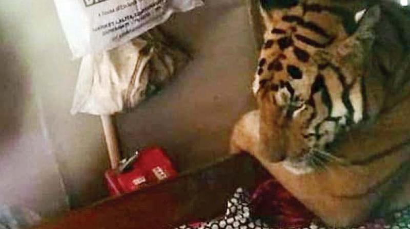 Forest department officials said efforts were being made to tranquilise the tiger and take it to safety.