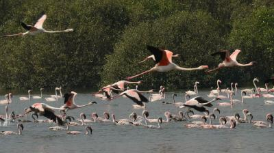 A large group of flamingos arrives at Thane creek near Ghansoli in Navi Mumbai. The Maharashtra Government has declared the area along the western bank of the Thane Creek as the