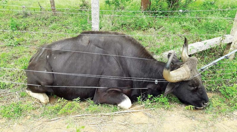 The  electrocuted bison. (Photo: DC)