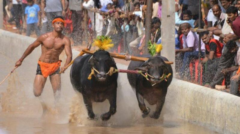 Oh my Kambala! This guy's faster than Srinivas Gowda!