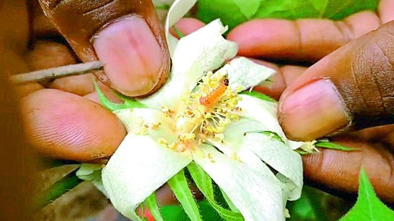 Pink bollworm found in the cotton cotton crops in Ponnari village in Tamsi mandal of Adilabad district on Saturday. (Photo: DC)