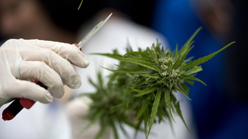 Studies have indicated that cannabis compounds did destroy malignant tumours in lab tests (Photo: AFP)