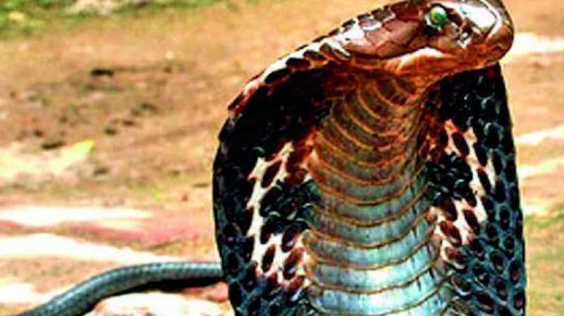 In a fresh such case, a dog fought against a cobra to guard lives of its owner's family members in Bhubaneswar. (Representional Image)