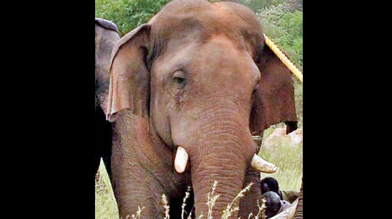 It was relocated and released in the Anamalai Tiger Reserve in a place called Varagaliyaaru. Meanwhile on Wednesday, forest department officials were disappointed after tracking Chinnathambi with the help of the radio frequency signals when they came to know he had begun heading towards a human habitat.