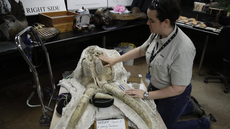 In this Aug. 15, 2017 photo, paleontologist Ashley Leger shows the skull of a young Columbian mammoth found at the construction site of the Metro Purple Line extension in Los Angeles. (Photo:AP)