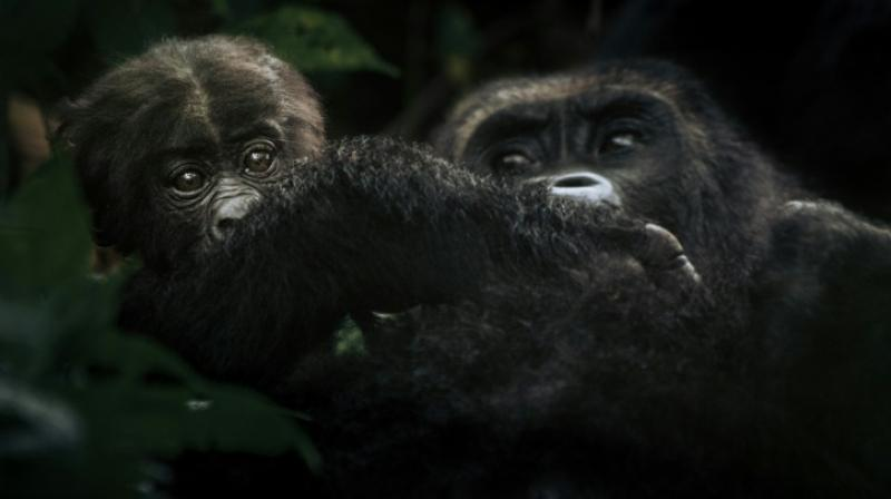 Bonane is an eastern lowland gorilla, a survivor in a critically endangered species reduced to about 250 members in DR Congo. (Photo: AFP)