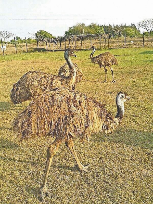 There are expansive spaces at the pet farm owned by Amudha Udayar who raises ostriches and even black swans