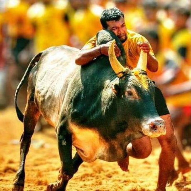 Speaking-out Jallikattu  protests swayed the state.