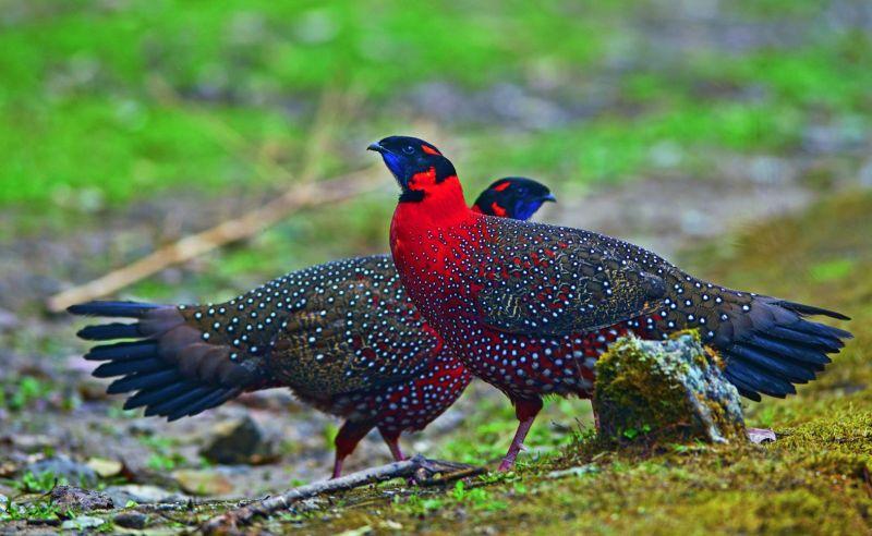 Satyr Tragopan, Singalila National Park.
