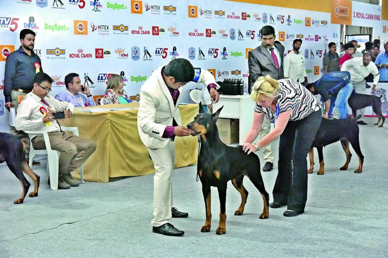 A doberman being inspected during the championship