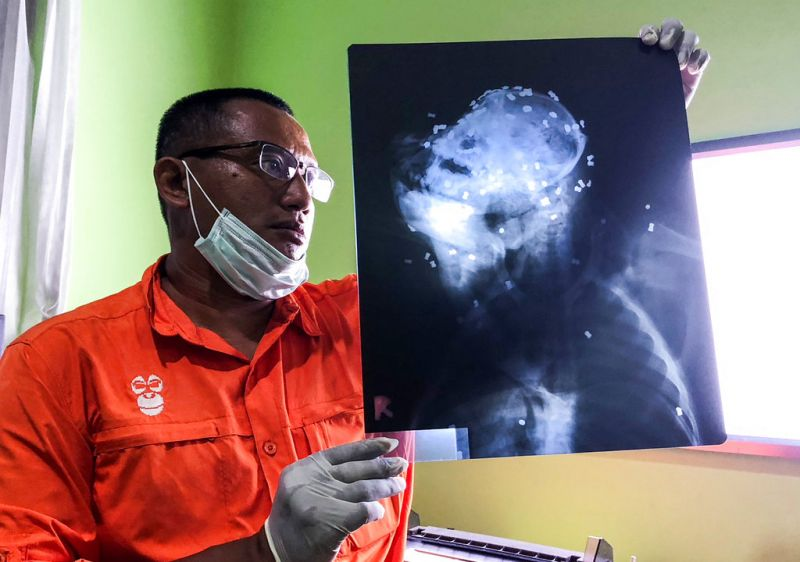 Photo released by Center for Orangutan Protection (COP), Principal of COP Hardi Baktiantoro holds an x-ray showing air rifle pellets lodged in the head and body of an orangutan during its surgery in East Kalimantan, Indonesia.