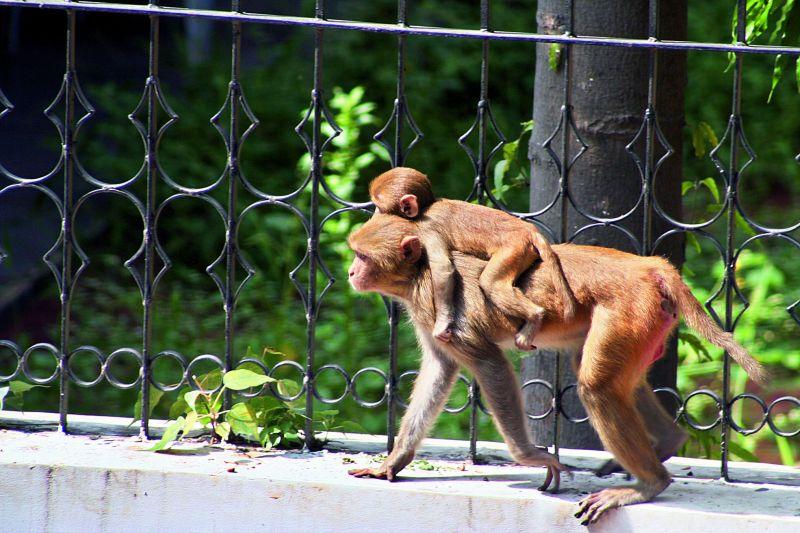 Pankaj's photos of monkeys