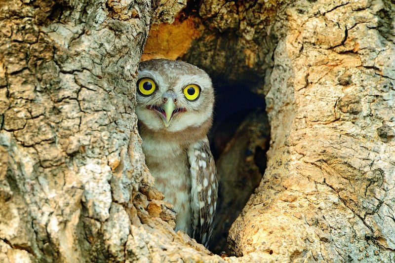 peek a boo-spotted owlet