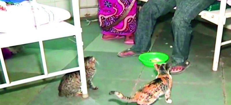 Cats wait for patients and their attendants for scraps of food at the OGH