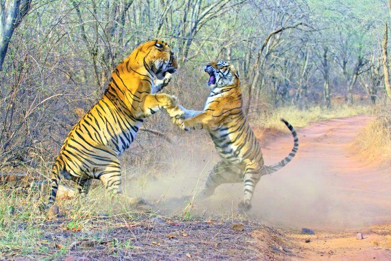Tigers fighting at Ranthambhore.