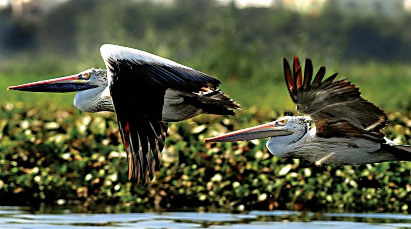 Madivala Lake - Spotted Pelicans or Dalmatian Pelicans.