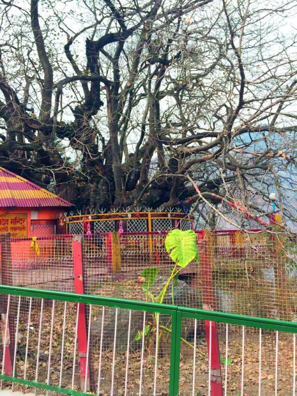 The Kalpavruksh tree. Bare in winter it grows lush as spring comes by