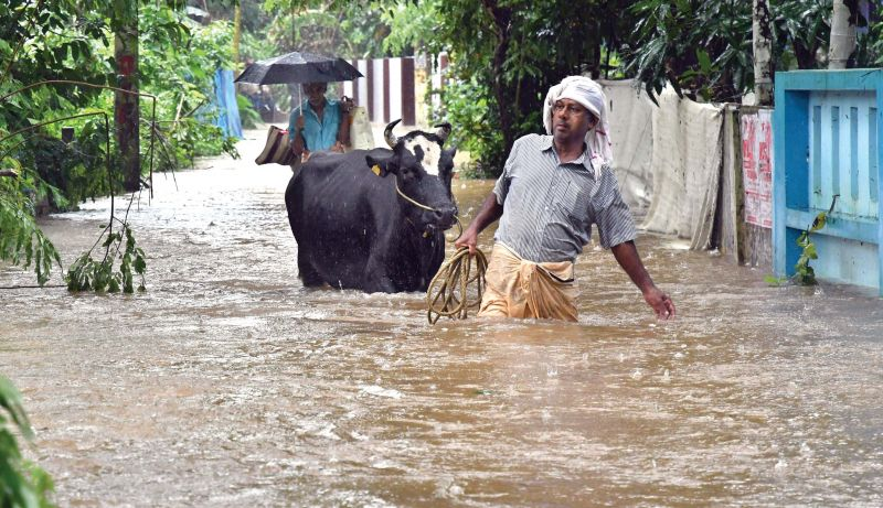 A dairy farmer in Manjaly shifting his cattle to safe place, when water level started to increase. Most of the dairy farmers shifted their cattle without any instruction from authorities as they lost several animals in last year's deluge. (Photo: DC)