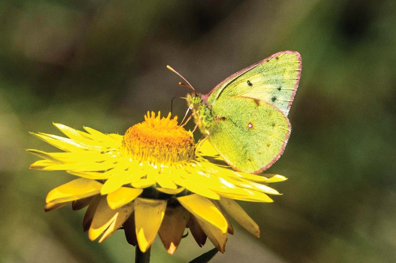 Nilgiri clouded yellow