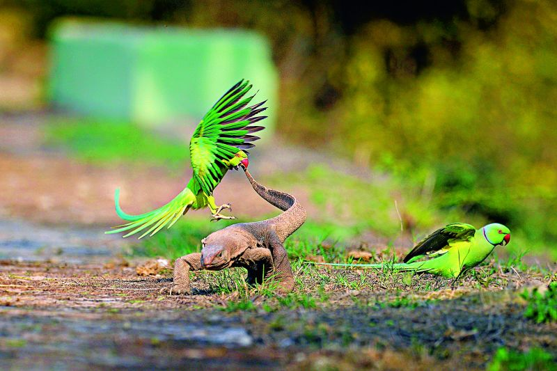 The attack rose ringed parakeet monitor lizard