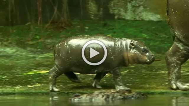 Singapore Zoo unveils endangered species newborn babies