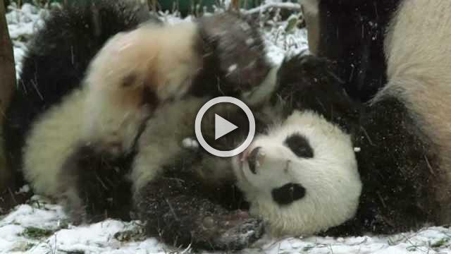 Panda cubs make most of snow day at Vienna Zoo