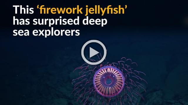 Rare jellyfish resembling an exploding firework seen off the Mexican coast