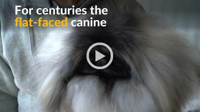 Beijing's once popular imperial canine is hardly seen in China