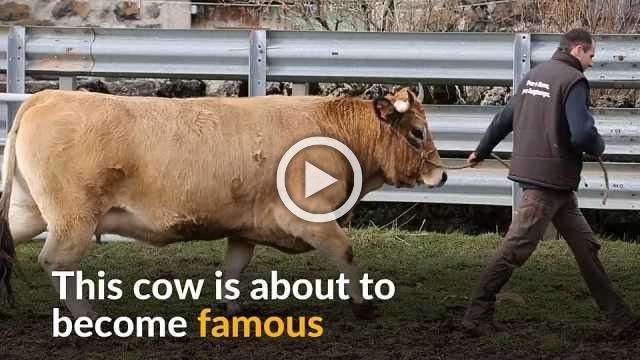 Meet Haute, the French cow about to become a star