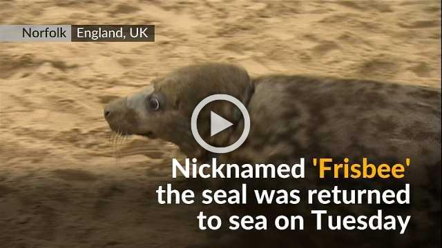 Seal wounded by frisbee stuck on its neck returns to the wild