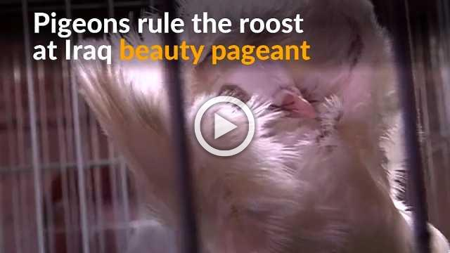 Breeders flock to first Iraq beauty pageant for pigeons